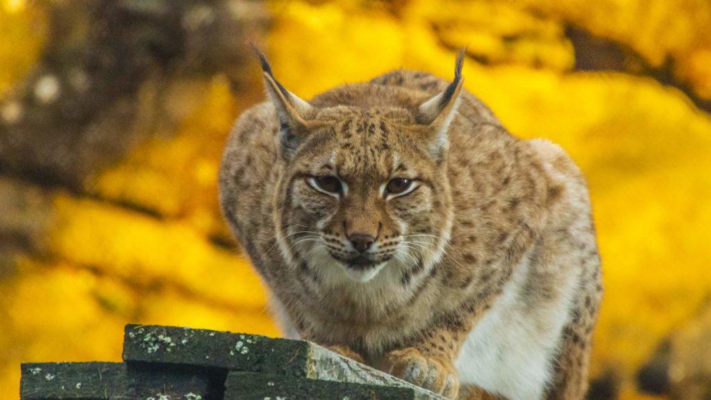 Zoo des Marécottes - lynx
